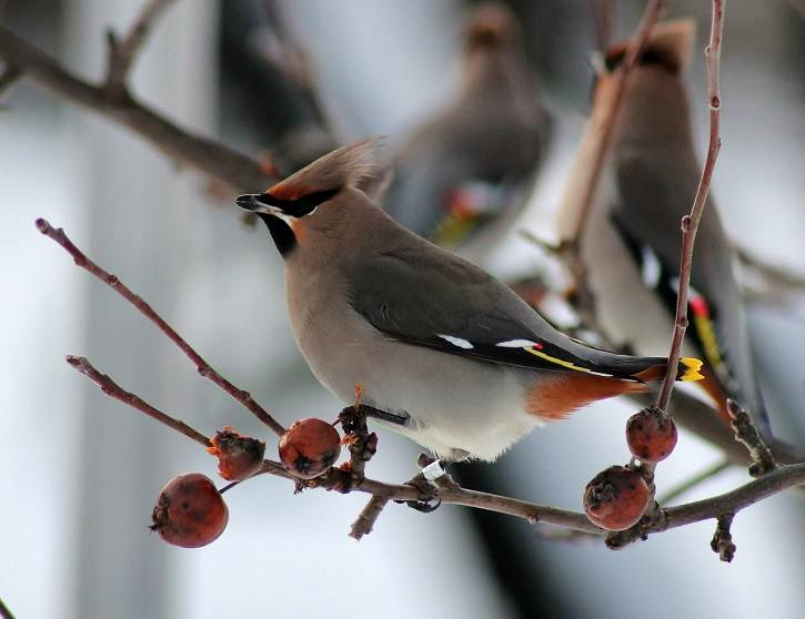 jemioluszka - Dokarmianie ptaków