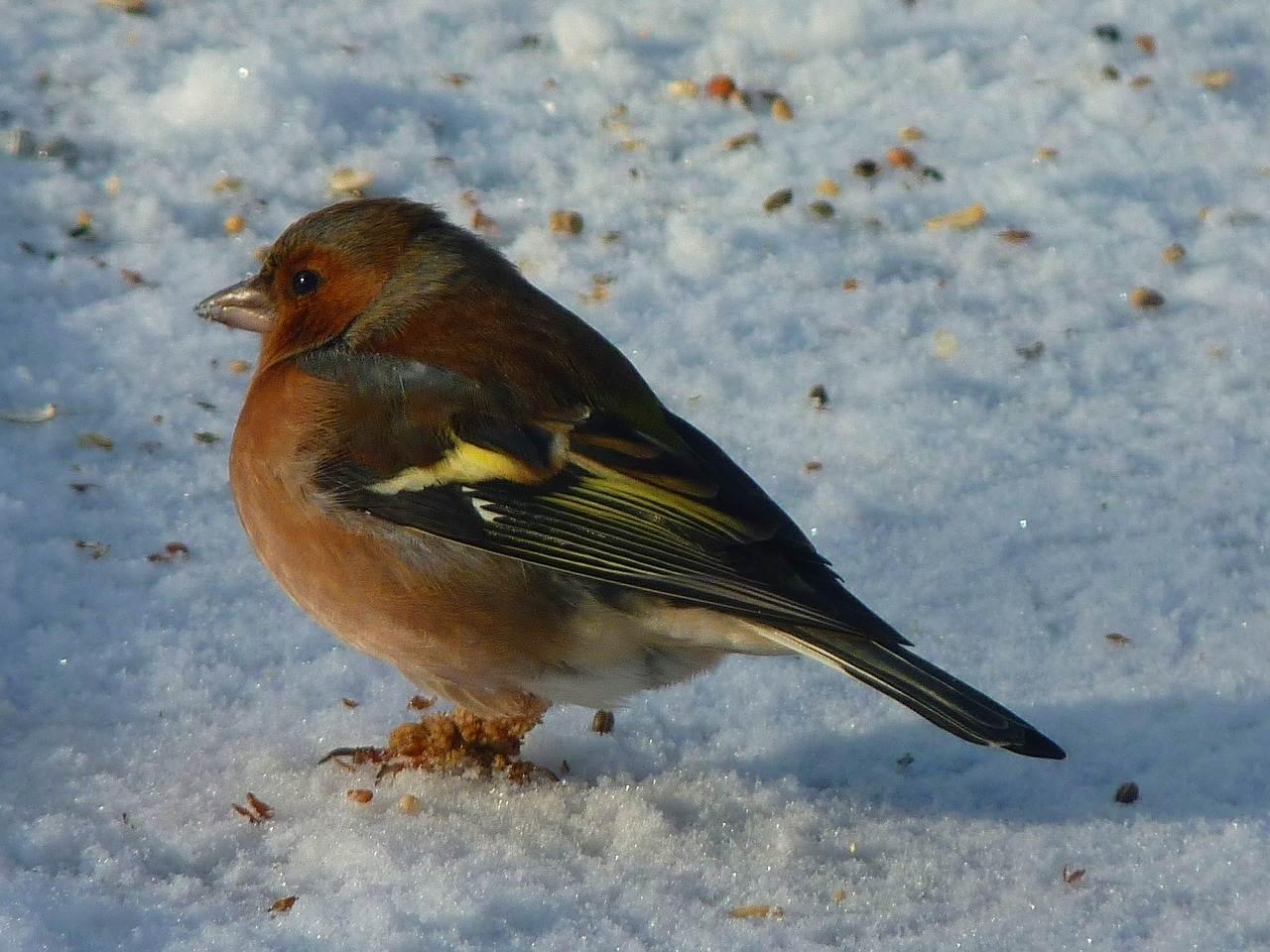 zieba 1 - Dokarmianie ptaków