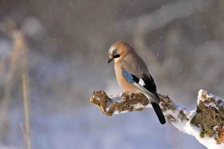 sojka - Dokarmianie ptaków