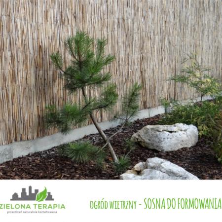 ogród wietrzny sosna do formowania 450x450 - Mały ogród przydomowy w Krakowie